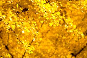 銀杏と金の宝石箱の素材 [FYI00236039]
