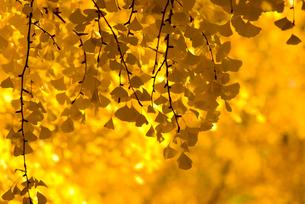 銀杏と金の宝石箱の素材 [FYI00236040]