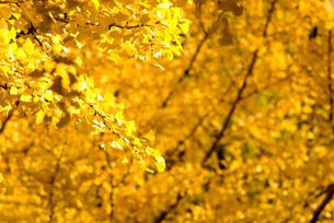 銀杏と金の宝石箱の写真素材 [FYI00236052]