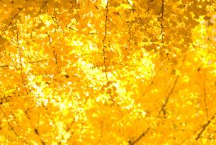 銀杏と金の宝石箱の素材 [FYI00236053]