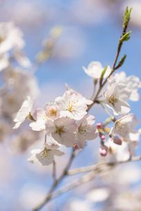 サクラの花の写真素材 [FYI00236235]