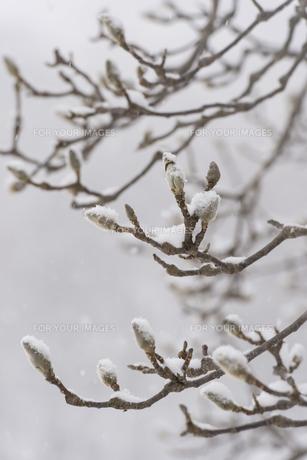 木の芽の写真素材 [FYI00236284]