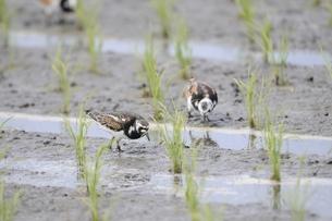 水田で採餌する渡り途中のキョウジョシギの写真素材 [FYI00236361]