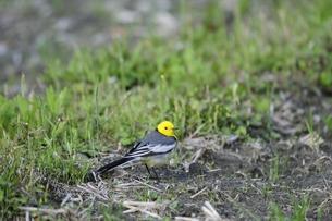 渡り途中のキガシラセキレイ雄成鳥の写真素材 [FYI00236381]