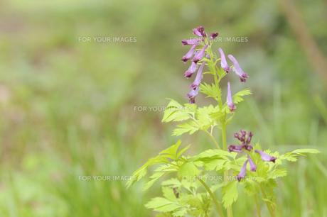 東京都高尾山のムラサキケマンの写真素材 [FYI00236408]