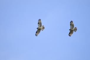 渡り途中の2羽のノスリの写真素材 [FYI00236413]