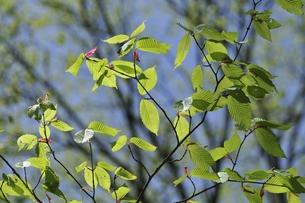 青空をバックにしたブナの新しい葉の写真素材 [FYI00236414]
