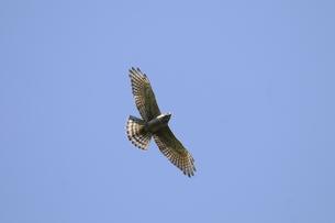 渡り途中のサシバ幼鳥の写真素材 [FYI00236418]