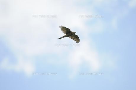 空を飛ぶ渡り途中のオオタカ幼鳥の写真素材 [FYI00236437]
