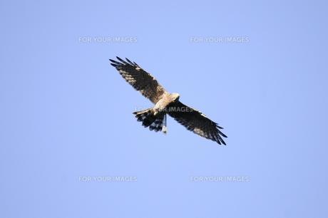 秋の渡りのサシバ成鳥の写真素材 [FYI00236442]