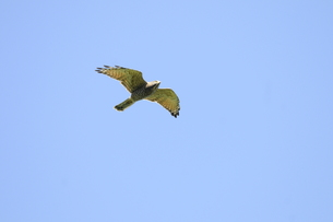 青空をバックに飛んでくるサシバ成鳥の写真素材 [FYI00236501]