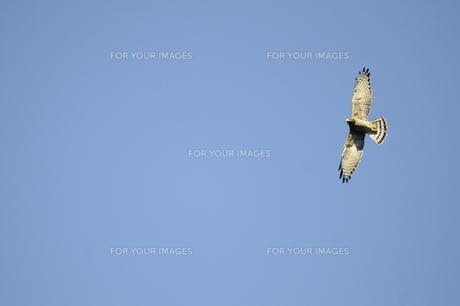 青空を飛ぶサシバ成鳥の写真素材 [FYI00236520]