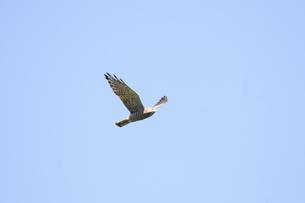 羽ばたくサシバ成鳥の写真素材 [FYI00236527]