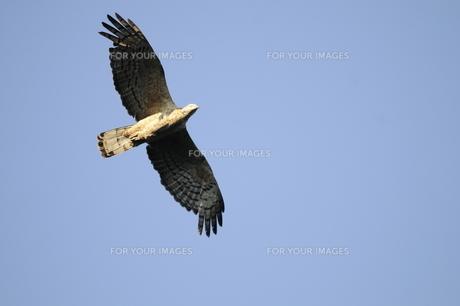 青空を飛ぶハチクマの雌成鳥の写真素材 [FYI00236536]