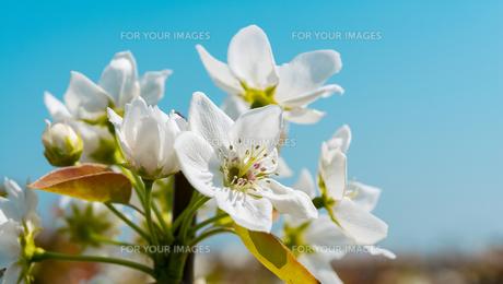 梨の花の写真素材 [FYI00236562]