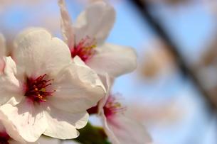 日本の桜の写真素材 [FYI00236725]