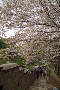世界遺産 水原華城 城壁の桜(ソウル)の写真素材 [FYI00236782]