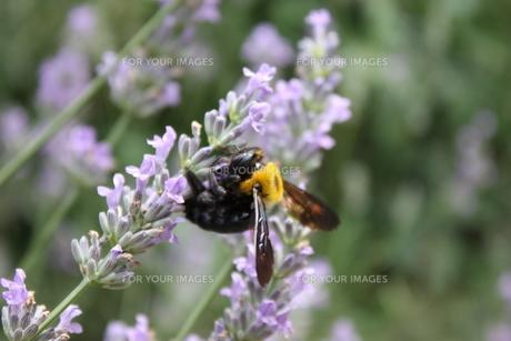 蜂の素材 [FYI00236870]