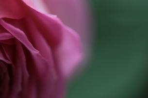 バラ:ジュビリーセレブレーションの花びらの写真素材 [FYI00237200]