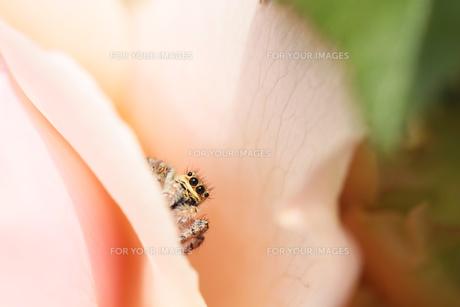 ハエトリグモとバラの写真素材 [FYI00237213]