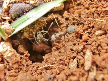 アリの巣から出てくるアリの写真素材 [FYI00237283]