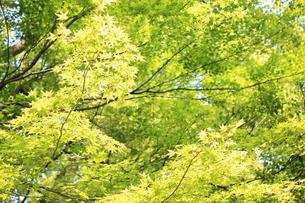 青楓の写真素材 [FYI00237619]