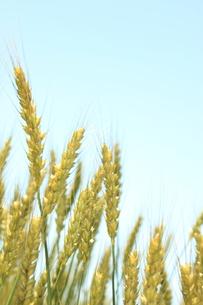 麦畑の写真素材 [FYI00237632]