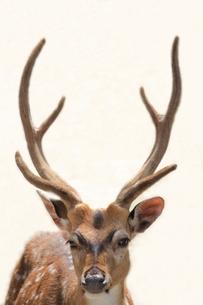 鹿の写真素材 [FYI00237641]
