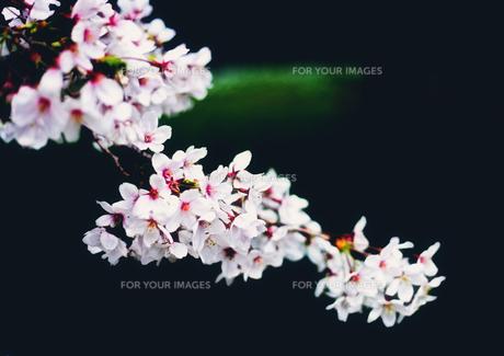 桜の素材 [FYI00237713]