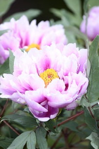 美しく咲く牡丹の花の写真素材 [FYI00238107]