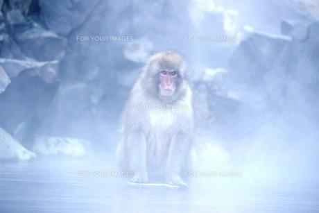 湯煙に包まれる野生のお猿の素材 [FYI00238269]