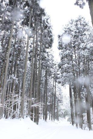 雪に包まれる信州の山間の杉並木の素材 [FYI00238304]