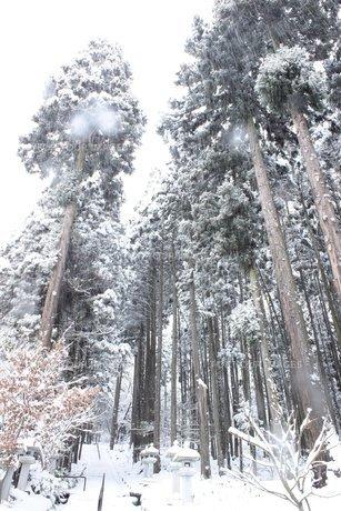 信州の雪が降る山道の杉林の素材 [FYI00238310]