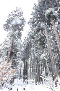 信州の雪が降る山道の杉林の写真素材 [FYI00238310]