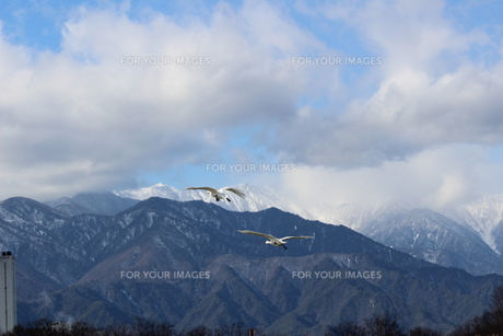 白鳥が飛ぶ信州安曇野の風景の素材 [FYI00238327]