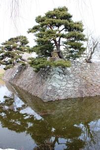 城壁の松の写真素材 [FYI00238338]