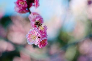 梅の花の写真素材 [FYI00238464]