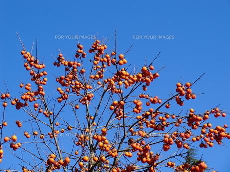 青空と柿の写真素材 [FYI00238470]
