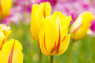 花畑の黄色いチューリップの写真素材 [FYI00238587]