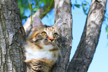 木に登るメインクーンの写真素材 [FYI00238615]