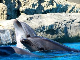 餌を待つイルカの写真素材 [FYI00238622]