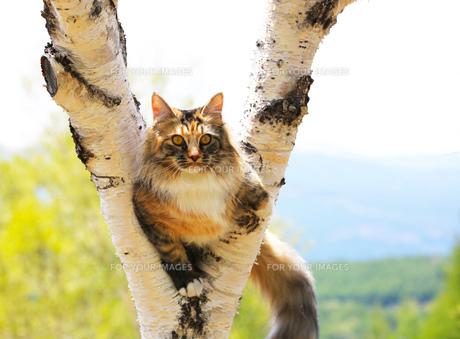 白樺の木に登るメインクーンの写真素材 [FYI00238652]