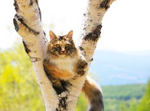 白樺の木に登るメインクーンの素材 [FYI00238652]