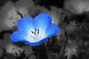 ネモフィラの花の写真素材 [FYI00238688]