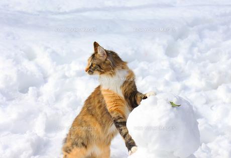 雪だるまとメインクーンの写真素材 [FYI00238708]
