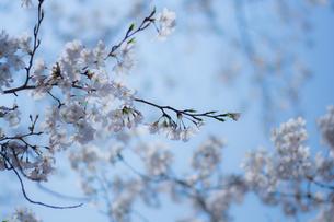 桜と空の写真素材 [FYI00238772]