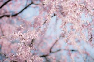 しだれ桜の写真素材 [FYI00238778]