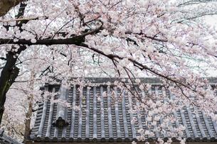 桜と日本瓦の写真素材 [FYI00238787]