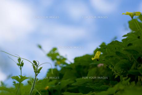 ゴーヤー空への写真素材 [FYI00238790]