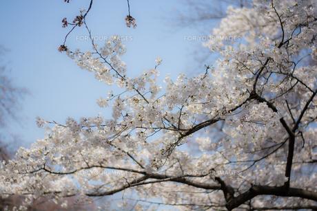 白い桜とあたたかな日差しの写真素材 [FYI00238791]